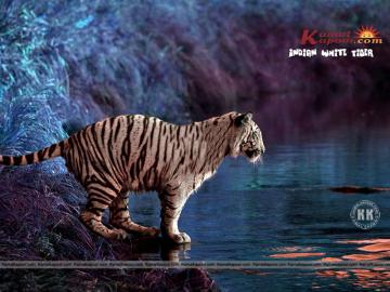 Indian Wallpaper Indian White Tiger Wallpaper Beautiful Indian