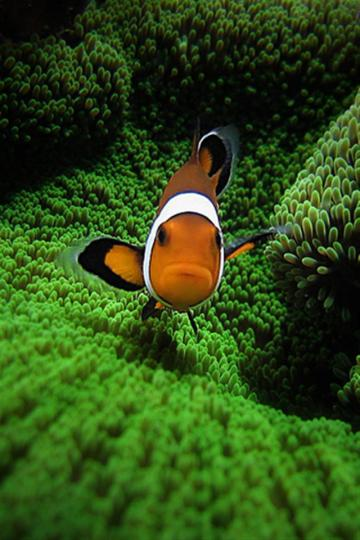 Clown Fish by Pedro Gonio Animal iPhone Wallpapers iPhone 5s4s