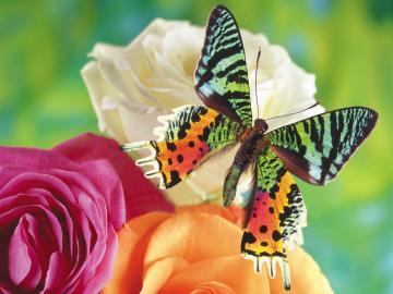 Colorful Butterflies   Wallpaper 34081