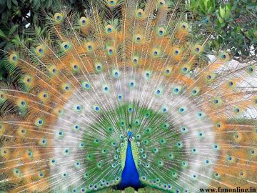 Peacock Wallpapers Download Indian National Bird Peacock Wallpapers