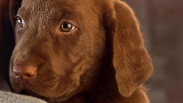 Brown labrador puppy wallpaper 9953
