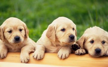 Labrador Puppies Wallpaper   Download Wallpaper Nature