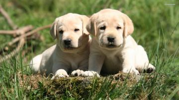 Labrador Retriever Puppies Wallpaper