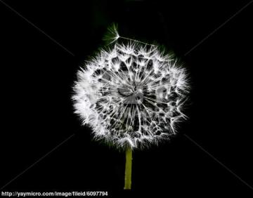 Dandelion Black And White Wallpaper Dandelion black white