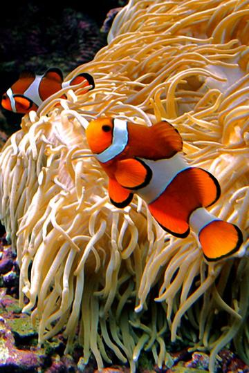 Hd Wallpapers Clown Fish 1920 X 1200 1238 Kb Jpeg HD Wallpapers