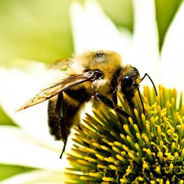 Bumble Bee iPad Wallpaper ipadflavacom