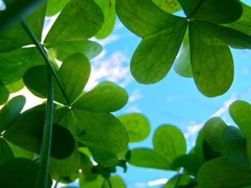 Clover Picture   Wallpaper High Definition High Quality Widescreen