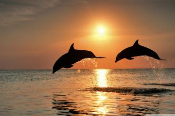 Download Bottlenose Dolphin Jumping At Sunset wallpaper