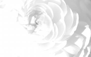 wallpaper white rose wallpapers colors abstract 1920x1200