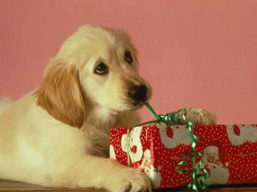 Labrador Puppy With Xmas Present   Christmas Animals Wallpaper Image