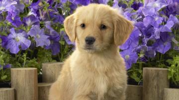 Labrador puppy Widescreen Wallpaper   4908