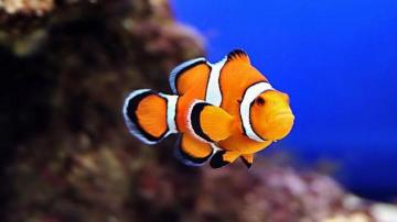 CLOWN FISH WALLPAPER   75948   HD Wallpapers   [desktopinHQcom]