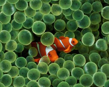 Thread Wish there was the Apple clown fish LIVE Wallpaper