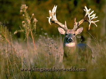 Wallpaper Deer