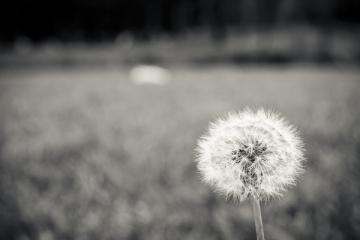black white flowers macro dandelions bw color 4608x3072 wallpaper