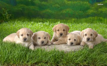 Labrador Retriever Wallpapers For Desktop   The Dog Wallpaper   Best