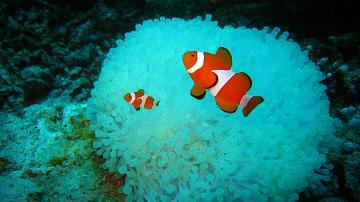 Download Clown Fish Wallpapers