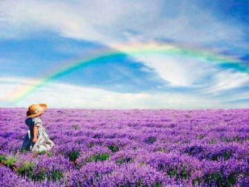 Lavender Fields Wallpaper Rainbow over lavender fields