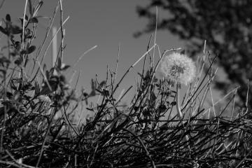 Dandelion Black and White by Kira7695