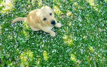 labrador retriever parts spring 2560x1600 wallpaper Dogs Wallpaper
