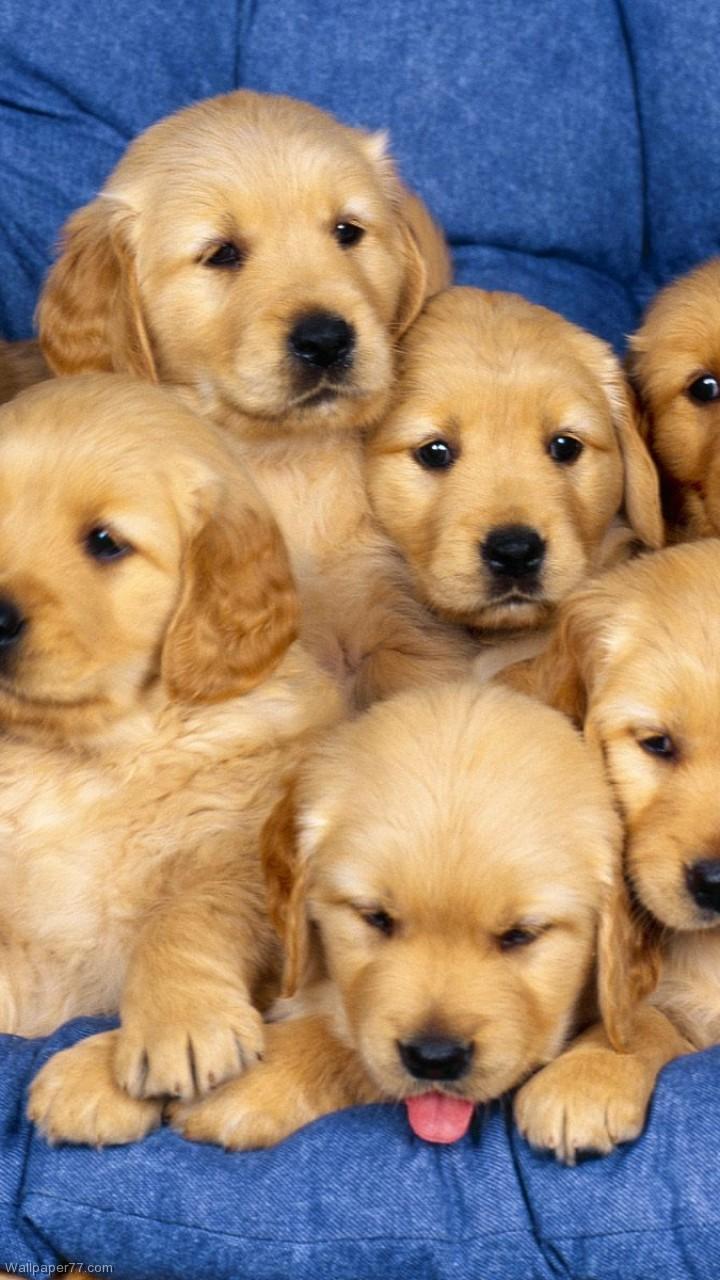 1920x1200px Golden Retriever Puppy Wallpaper Wallpapersafari