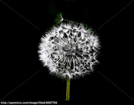 625x624px Black And White Dandelion Wallpaper