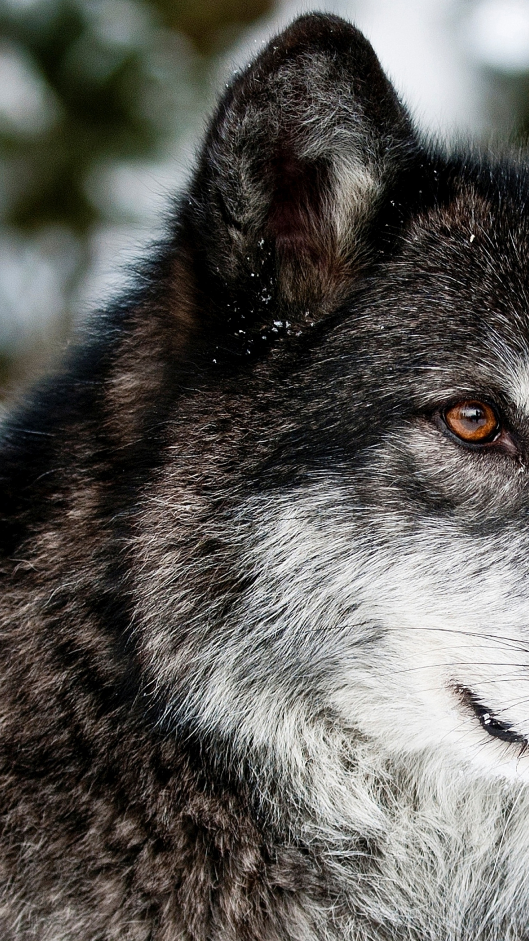 Free download Download Wallpaper 3840x2400 wolf muzzle ...