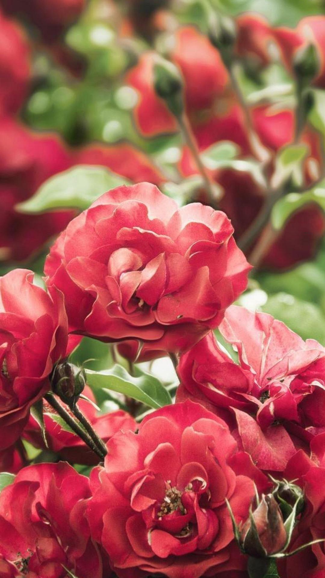Free Download Roses Flowers Wallpaper 4k Ultra Hd Wallpaper Ololoshenka 4096x2160 For Your Desktop Mobile Tablet Explore 24 Roses Flower 4k Wallpapers Roses Flower 4k Wallpapers Flower Print Wallpaper