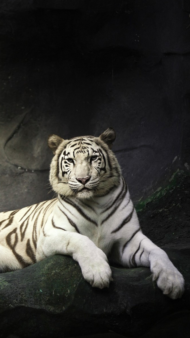 Free Download Iphone 5 Wallpapers Hd White Tiger Backgrounds 640x1136 For Your Desktop Mobile Tablet Explore 45 White Tiger Iphone Wallpaper Cool Tiger Wallpapers Tiger Wallpaper Hd Detroit Tigers Iphone Wallpaper