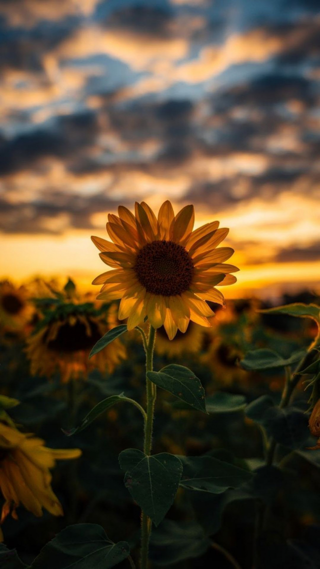 Free download Aesthetic Hd Iphone Wallpapers Flowers in 2020 Sunflower iphone 1080x1919 for ...