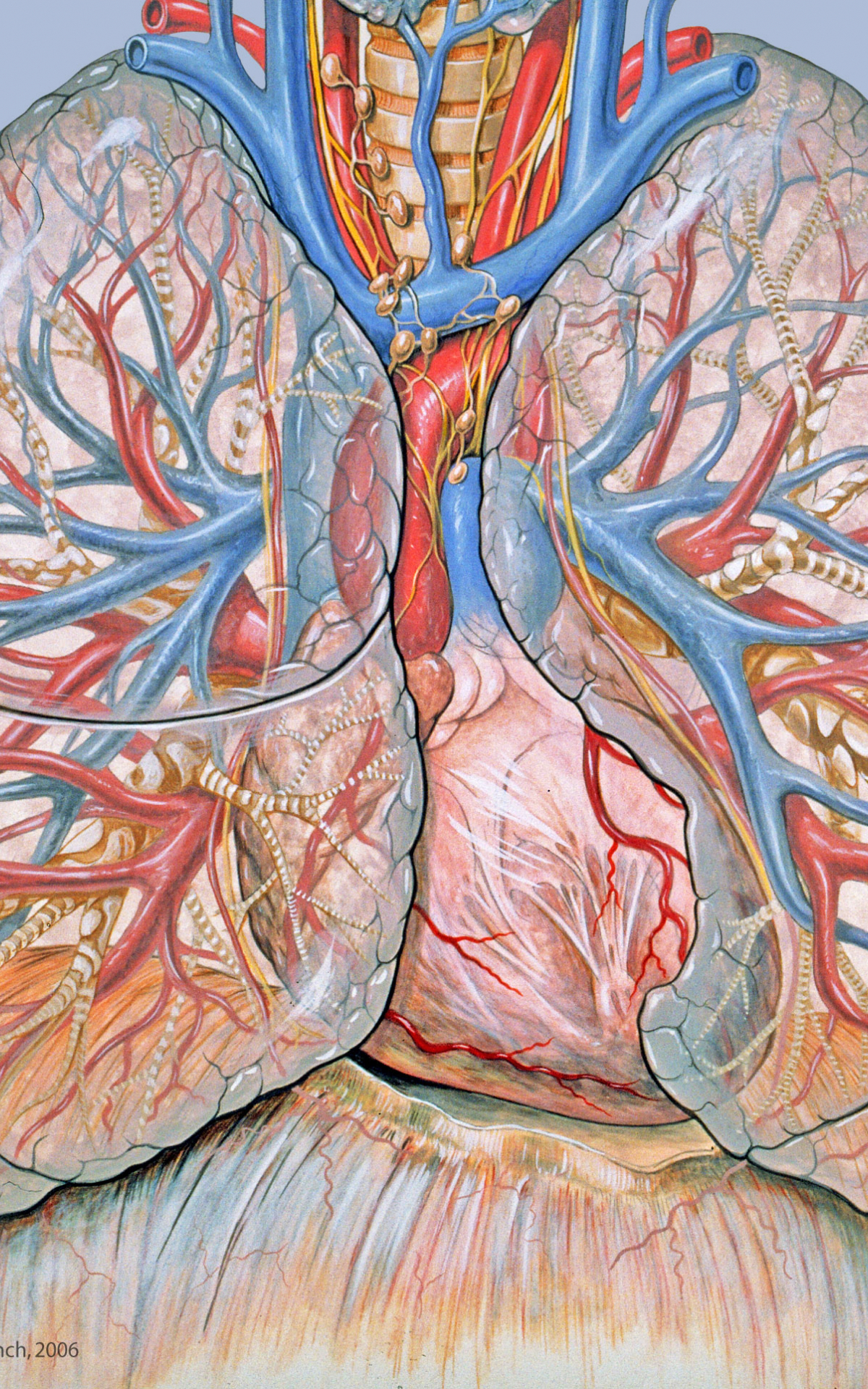 Free download are viewing anatomy lungs lung hd wallpaper ...