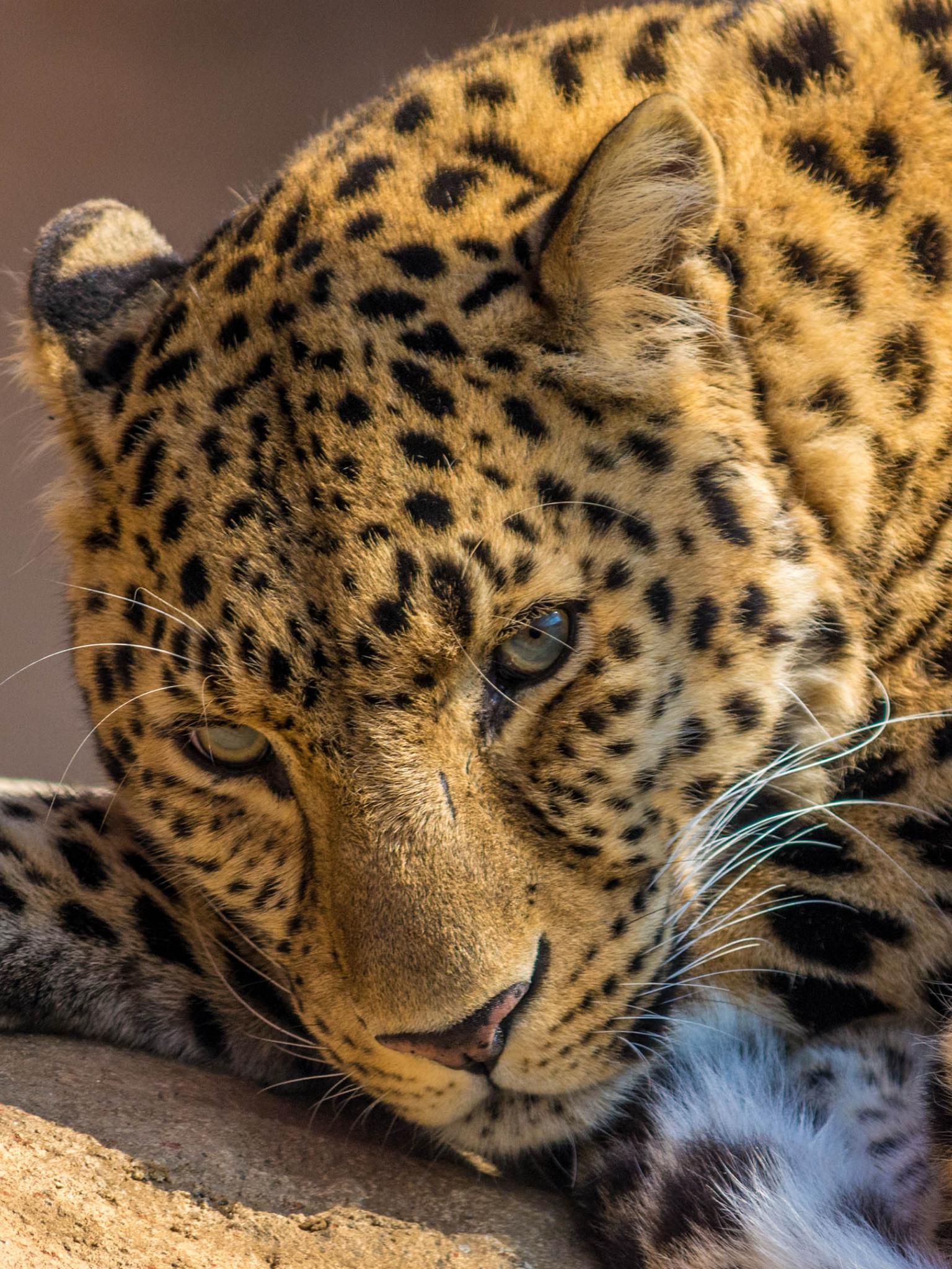 Free Download Beautiful Sleepy Leopard 4096x2160 Cinema 4k
