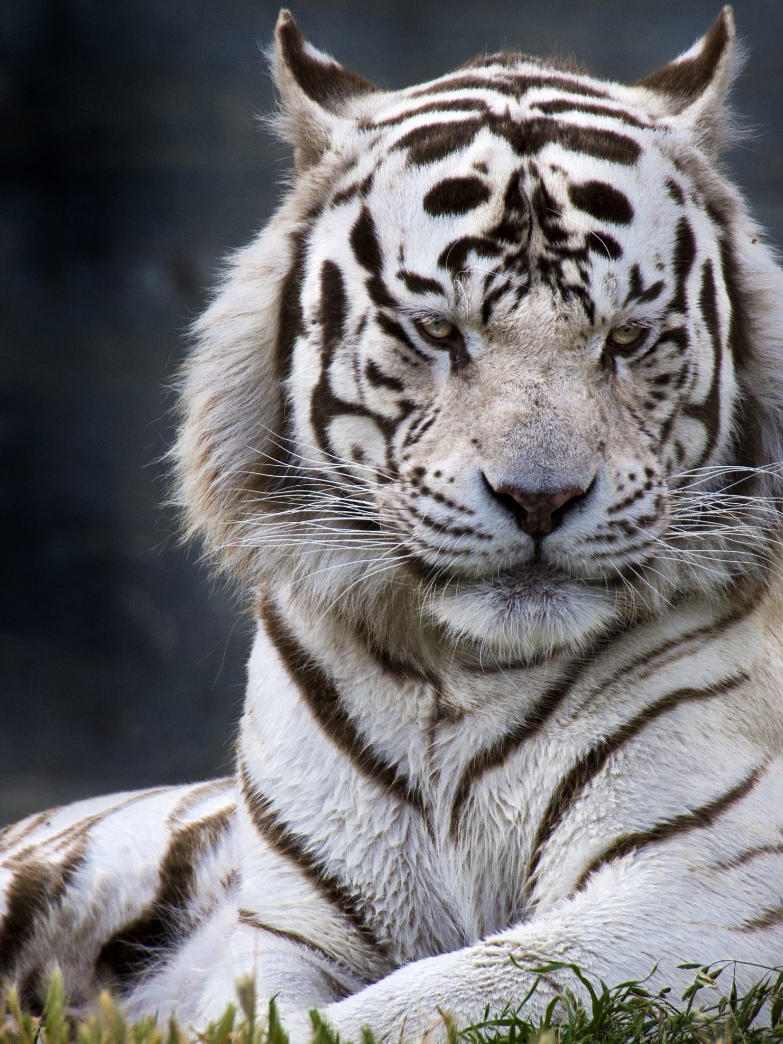 Free Download Ultra Hd White Tiger Wallpaper Ultra Hd Download 4k Computer 3840x2160 For Your Desktop Mobile Tablet Explore 19 4k Tiger Wallpapers 4k Tiger Wallpapers Tiger Wallpapers Wallpaper Tiger
