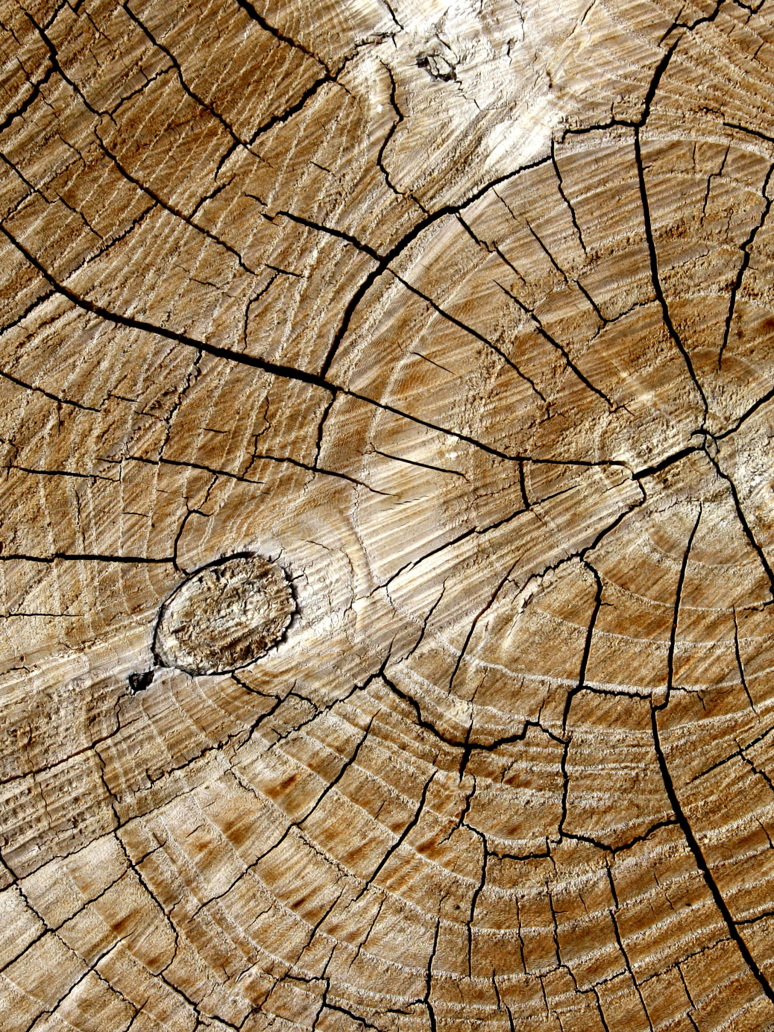 Cut End of Log with Tree Rings