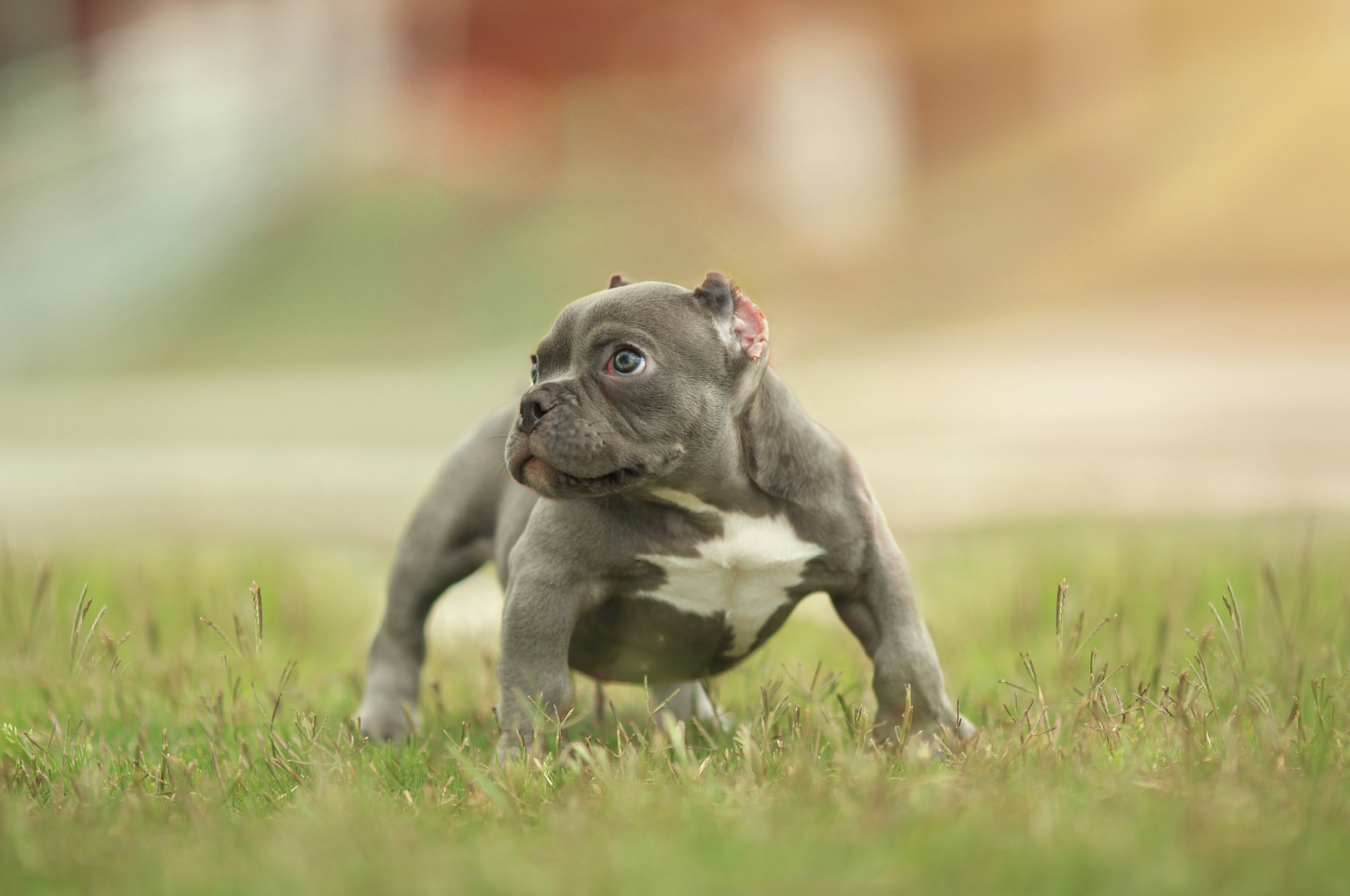 Free Download Download Wallpapers American Bully 4k Puppy Pets Canis Lupus 3840x2400 For Your Desktop Mobile Tablet Explore 19 American Bully Wallpapers American Bully Wallpapers American Beauty American Psycho