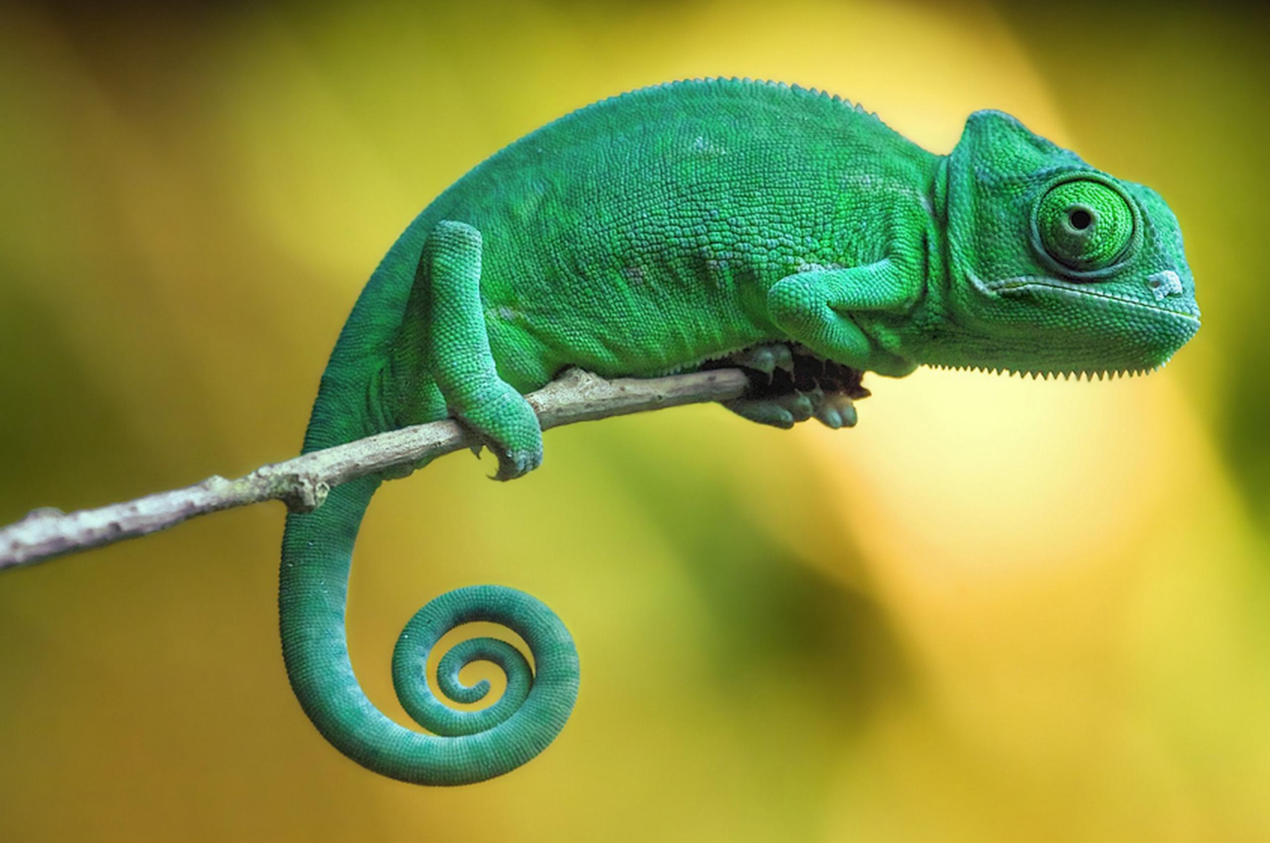 free download wallpaper chameleon 4k animals 14988 page 4