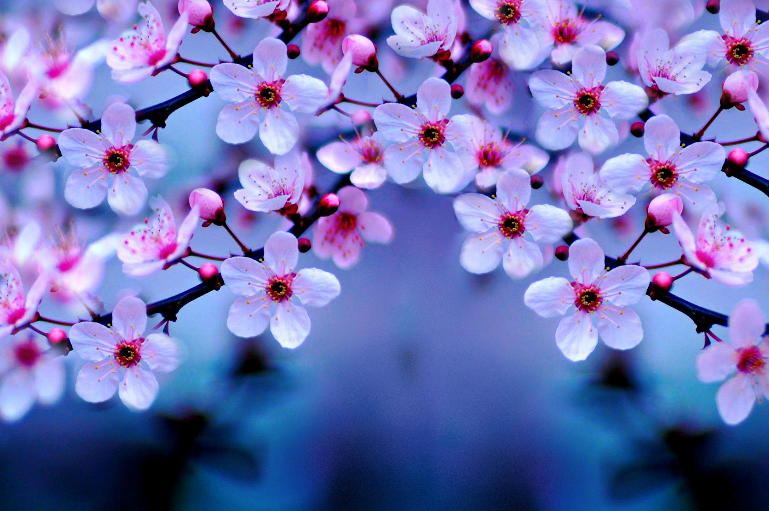 cherry blossom wallpaper - 1200×675