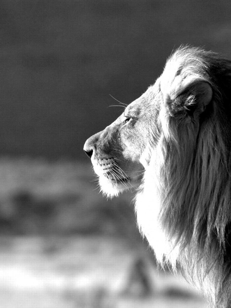 Free Download Jungle King Lion Black And White Wallpapers 1600x1200 For Your Desktop Mobile Tablet Explore 43 Black And White Lion Wallpaper White Lion Wallpaper Desktop Beautiful White Wallpaper