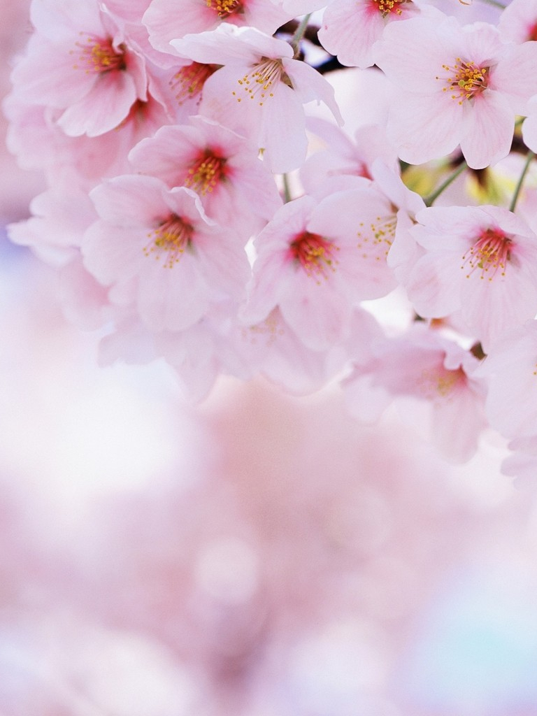 Free Download Download Soft Pink Sakura Flowers Wallpaper For Samsung Galaxy Tab 1200x1024 For Your Desktop Mobile Tablet Explore 64 Soft Pink Wallpaper Soft Wallpapers