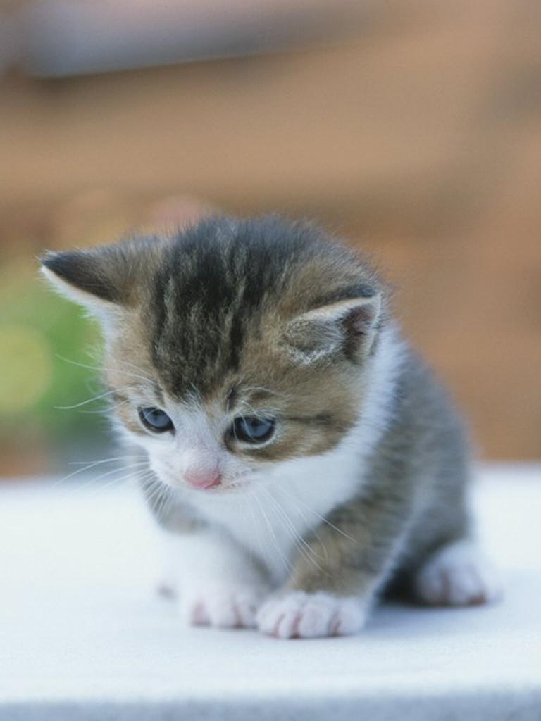 Free Wallpaper Kucing Anak Kucing Lucu Imut Gambar