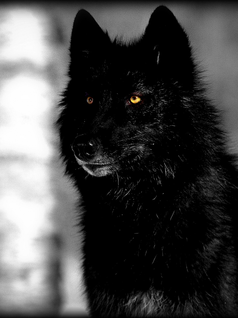 Free Download Black Wolf Fresh Hd Desktop Wallpapers 2013 Beautiful 1600x1200 For Your Desktop Mobile Tablet Explore 70 Black Wolf Wallpaper Wolf Wallpaper Hd Wolf Wallpaper Desktop Cool Black Wolf Wallpaper