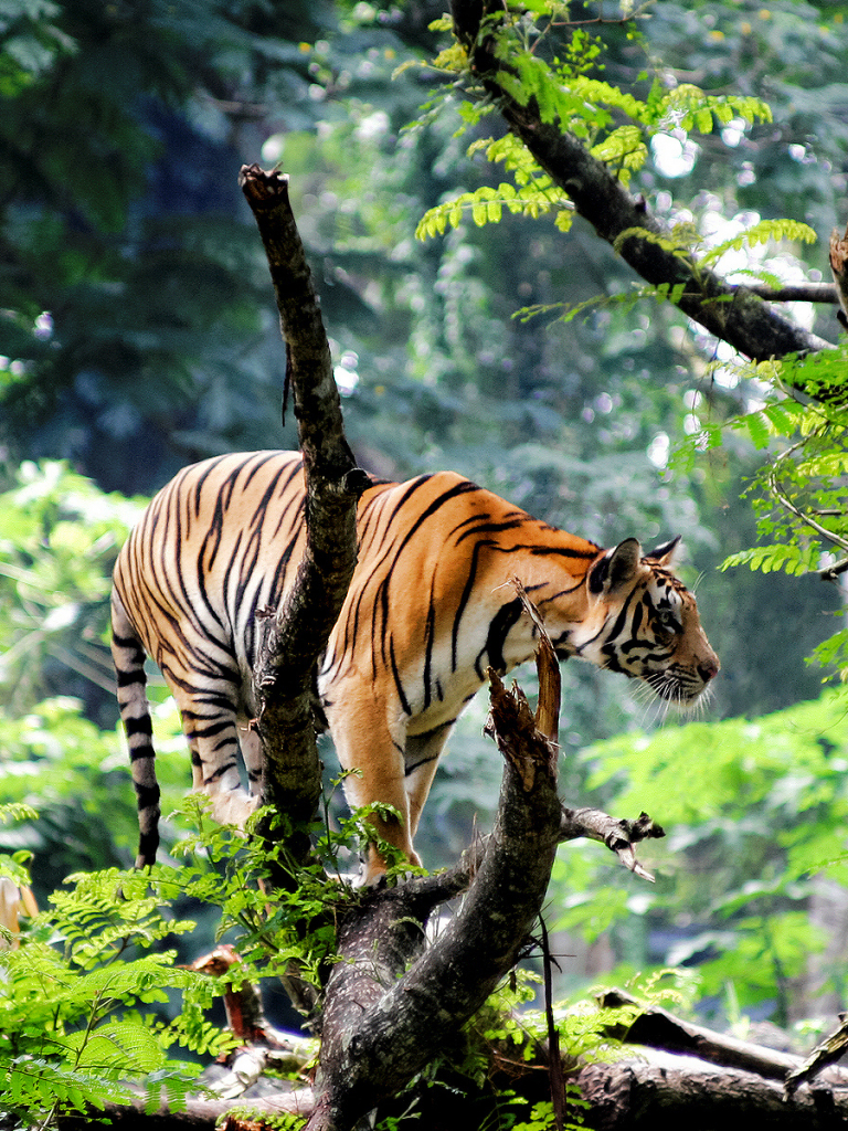 Free download Bengal Tiger in Jungle Wallpapers HD ...