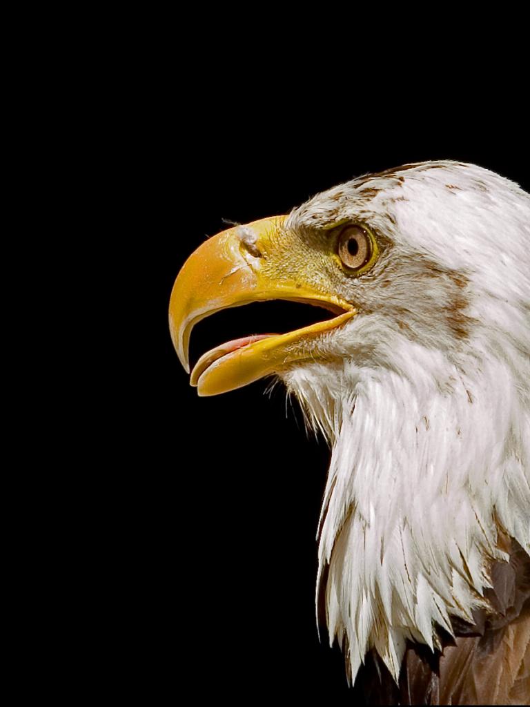 Free download 1600x1200 Bald eagle head desktop PC and Mac ...